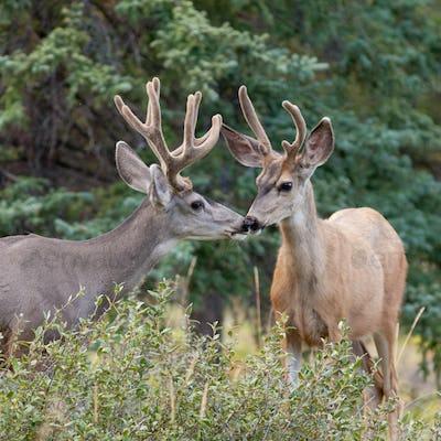 Two mule deer bucks with velvet antlers interact