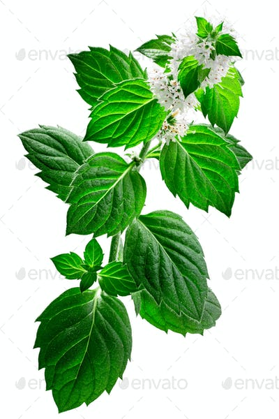 Peppermint m. piperita plant, isolated