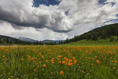 Amazing views of the flowery meadow on background of the mountains. Orange Globeflowers