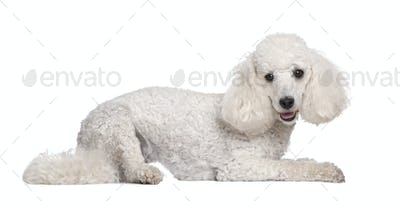 Poodle (2 years old)