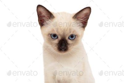 Portrait of a small Siamese kitten