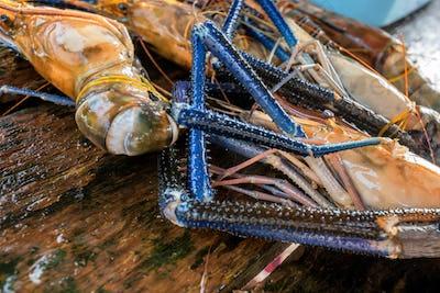 Raw freshwater jumbo shrimp