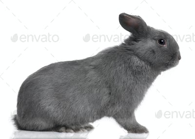 profile of a grey lop Rabbit (8 months old)