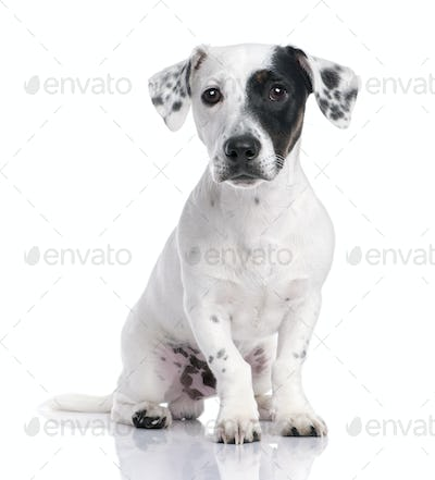 Jack russell puppy (8 months)