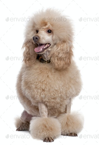 groomed apricot poodle (2 years old)