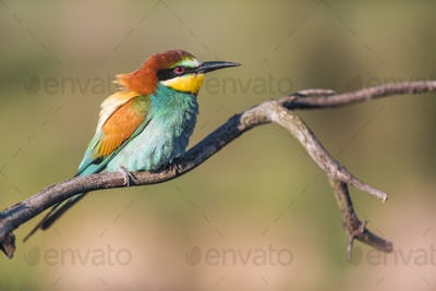 European bee-eater - Merops apiaster - on a branch in the morning