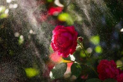 Red rose in the garden under the raindrops, rose illuminated by sun rays