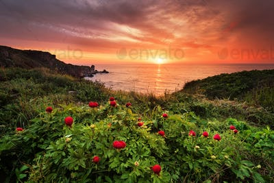 Magnificent sunrise view with beautiful wild peonies on the beach near Tylenovo, Bulgaria