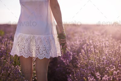 Gathering a bouquet of lavender. Girl in white dress hand holding a bouquet of fresh lavender
