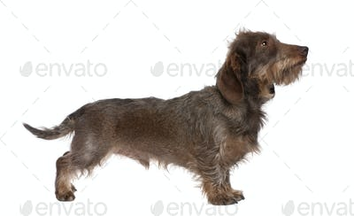 profile of a Brown Wire-haired dachshund (3 yeras old)