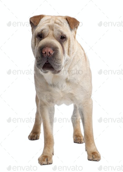 beige Sharpei (2 years old)