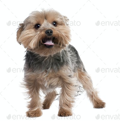 Yorkshire Terrier panting (2 years old)