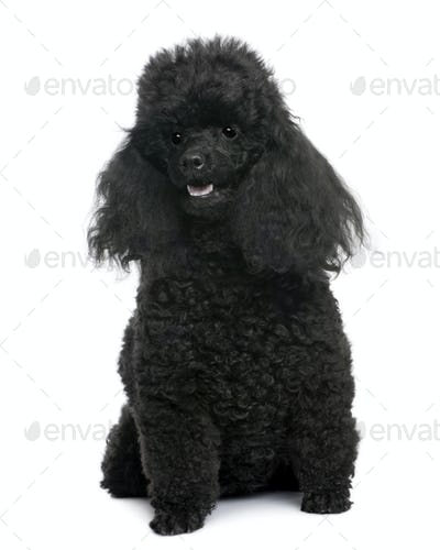 Black Poodle sitting in front (5 years old)