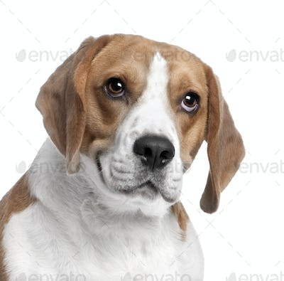 close-up on a Beagle's head (2 years old)