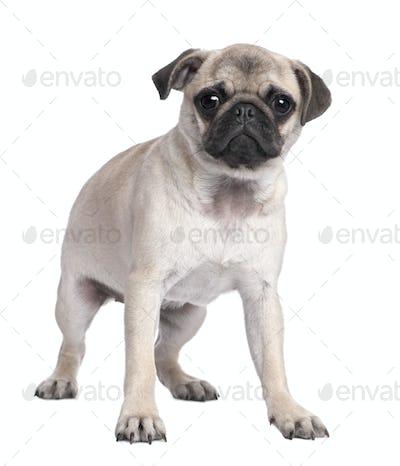 pug puppy (5 months old)