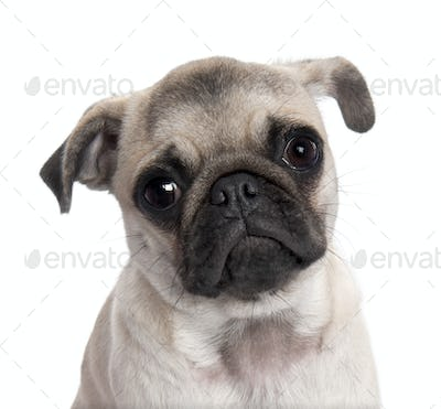 close-up on a pug puppy (5 months old)