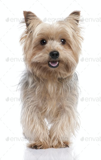 alert Yorkshire Terrier (3 years old)