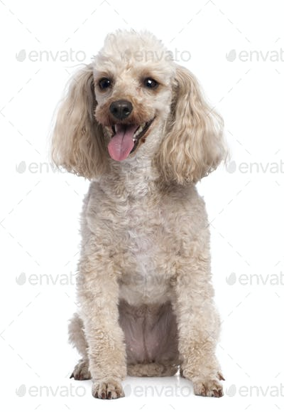 apricot Poodle panting (5 years old)