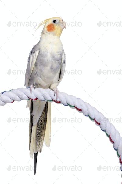 Cockatiel perching - Nymphicus hollandicus