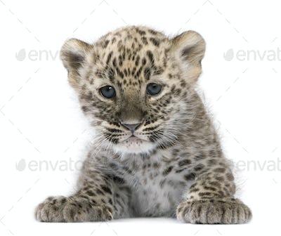 Persian leopard Cub (6 weeks)