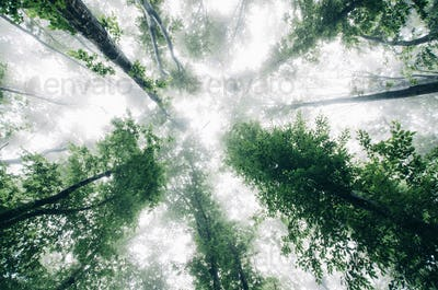 view toward sky in misty forest with green foliage