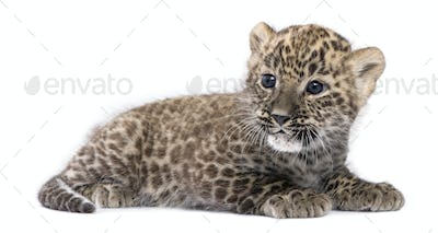 profile of a Persian leopard Cub lying down (6 weeks)