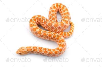 Albino hognose snake isolated on white background