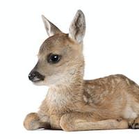 roe deer Fawn lying down - Capreolus capreolus (15 days old)