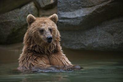 Brown bear in a swimming pool