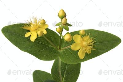 St John's wort flower close up