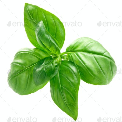 Basil o. basilicum leaves, paths, top