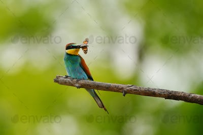 European bee-eater (Merops apiaster) in natural habitat