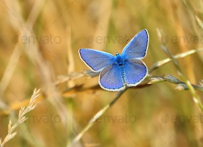 Common Blue butterfly Polyommatus icarus on the grass