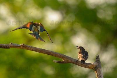 European bee-eater (Merops apiaster) and Common Starling (Sturnus Vulgaris) in natural habitat