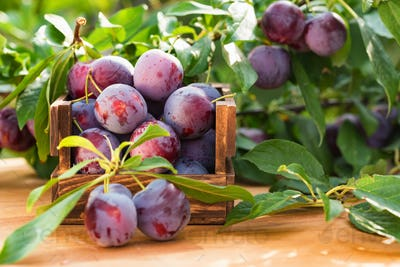 Fresh cherry plums in wooden box close