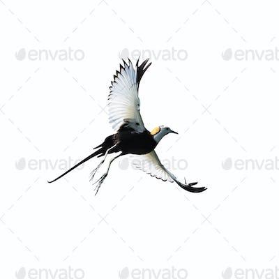 pheasant-tailed jacana isolated on white