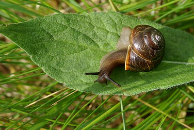 Snail on the green leaf