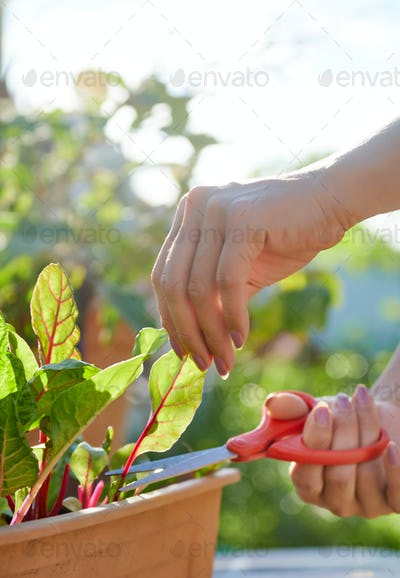 Woman hand cutting the red cos leaf