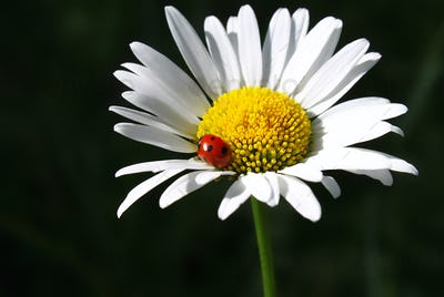 Camomile flower with ladybug