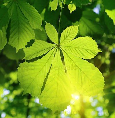 Chestnut leaf and sunlight