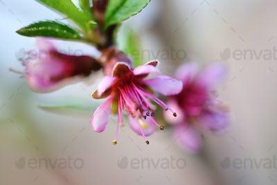 Beautiful blooming peach flowers