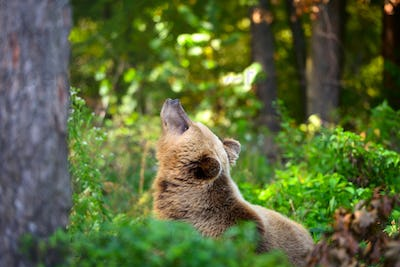 Young brown bear on the edge of the forest