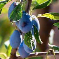 Wild plum fruit grow on branch