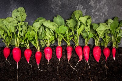 Radish Growing in Soil, Creative Gardening Concept