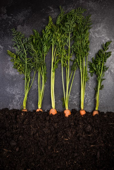 Carrots Growing in Soil,Gardening and Farming Conceptual Image