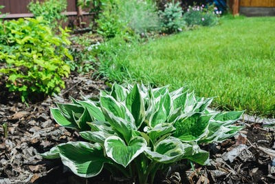 white and green leaves of hostas plant