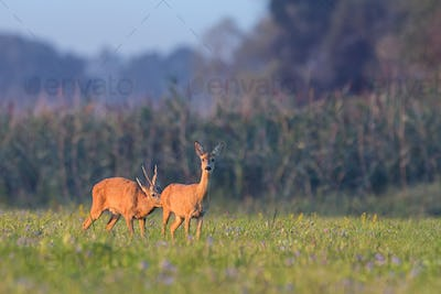 European roe deer male sniffing female on the meadow in the summer