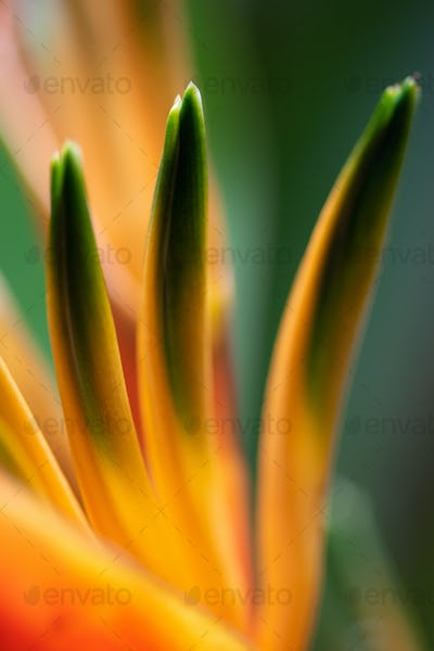 Bird of paradise flower, Strelitzia reginae close-up