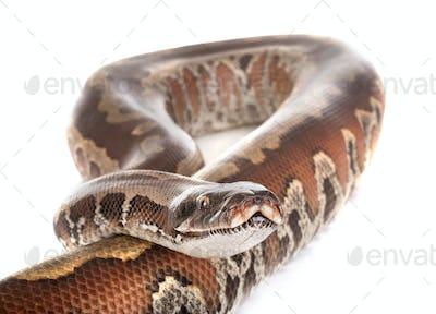 Python brongersmai in studio