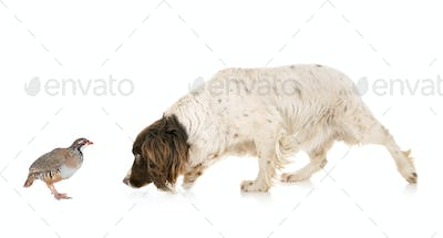 English Springer Spaniel and partridge